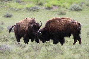 bisons (foto: shiny things/flickr)